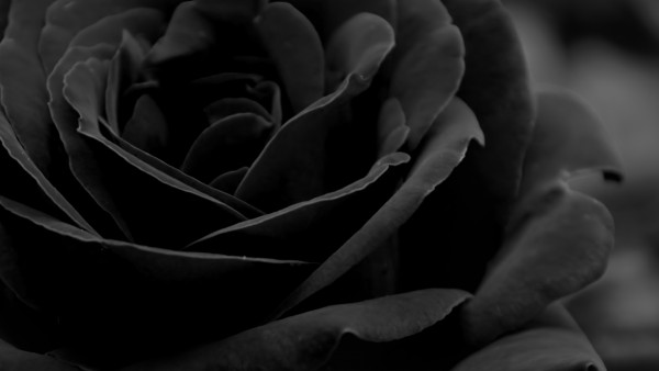 rosa-negra_926235459
